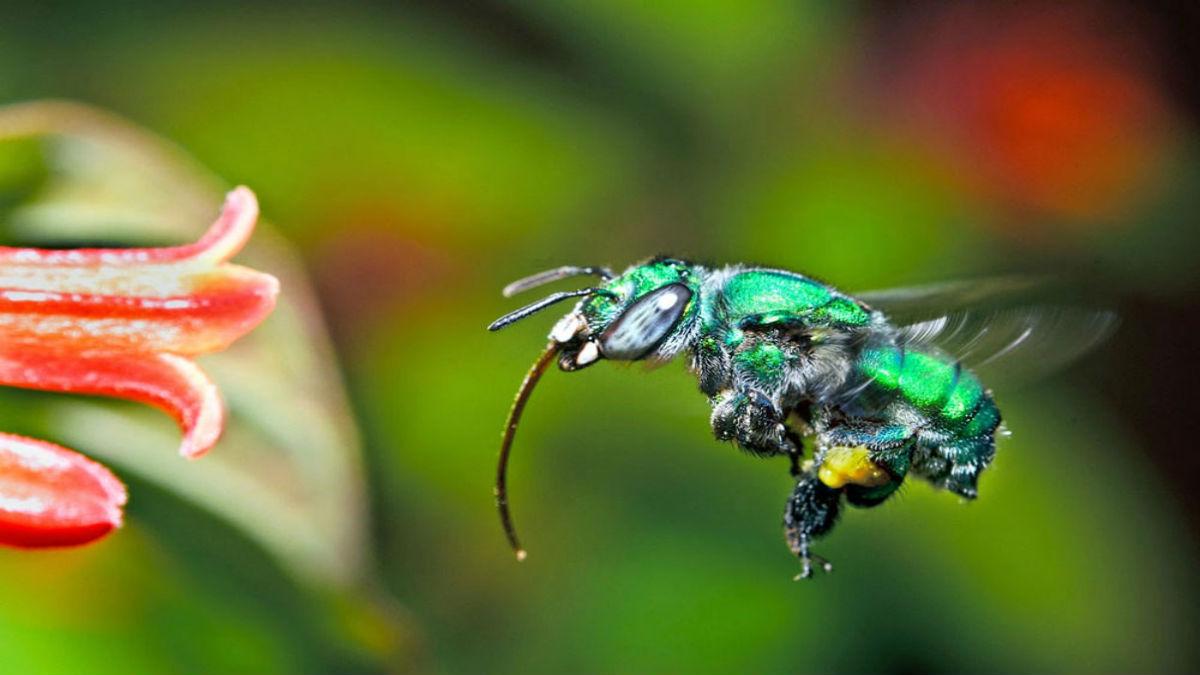 Descubren 3 nuevas especies de abeja en Colombia