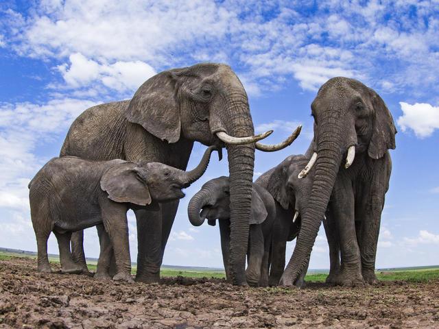 Pronostican la extinción total del elefante africano para 2040