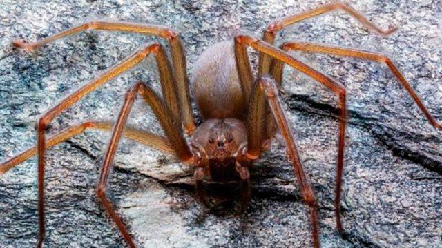 Descubren en México una araña de mordida venenosa que pudre la carne humana