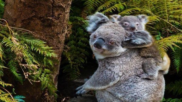 Incendios en Australia ponen en riesgo la supervivencia de los koalas