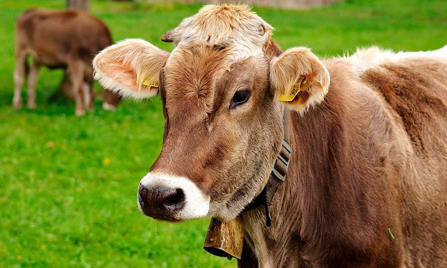 ¿Produce una vaca más gases de efecto invernadero que un vehículo?