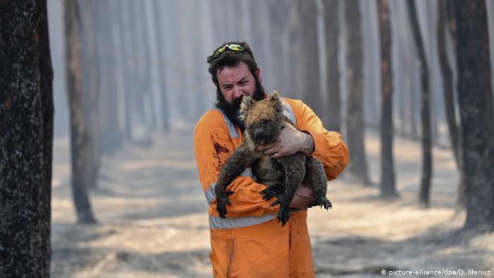 Australia invertirá millones de dólares para recuperar la población de koalas tras los incendios