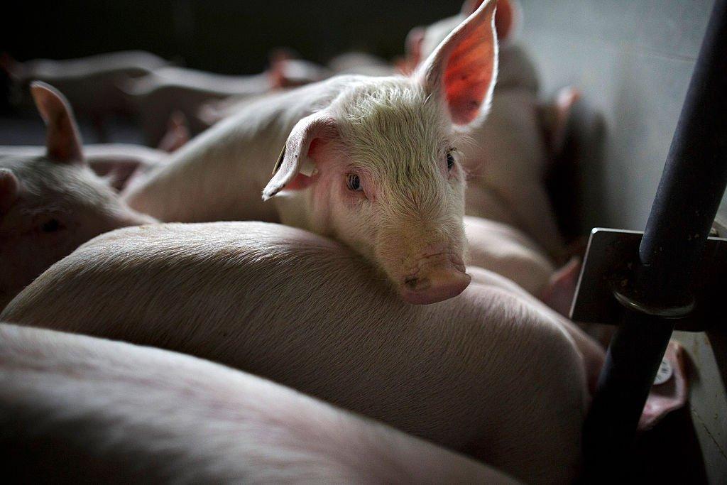 Justicia establece que empresa faenadora de cerdos en San Javier vulnera el derecho a vivir en un medio ambiente libre de contaminación