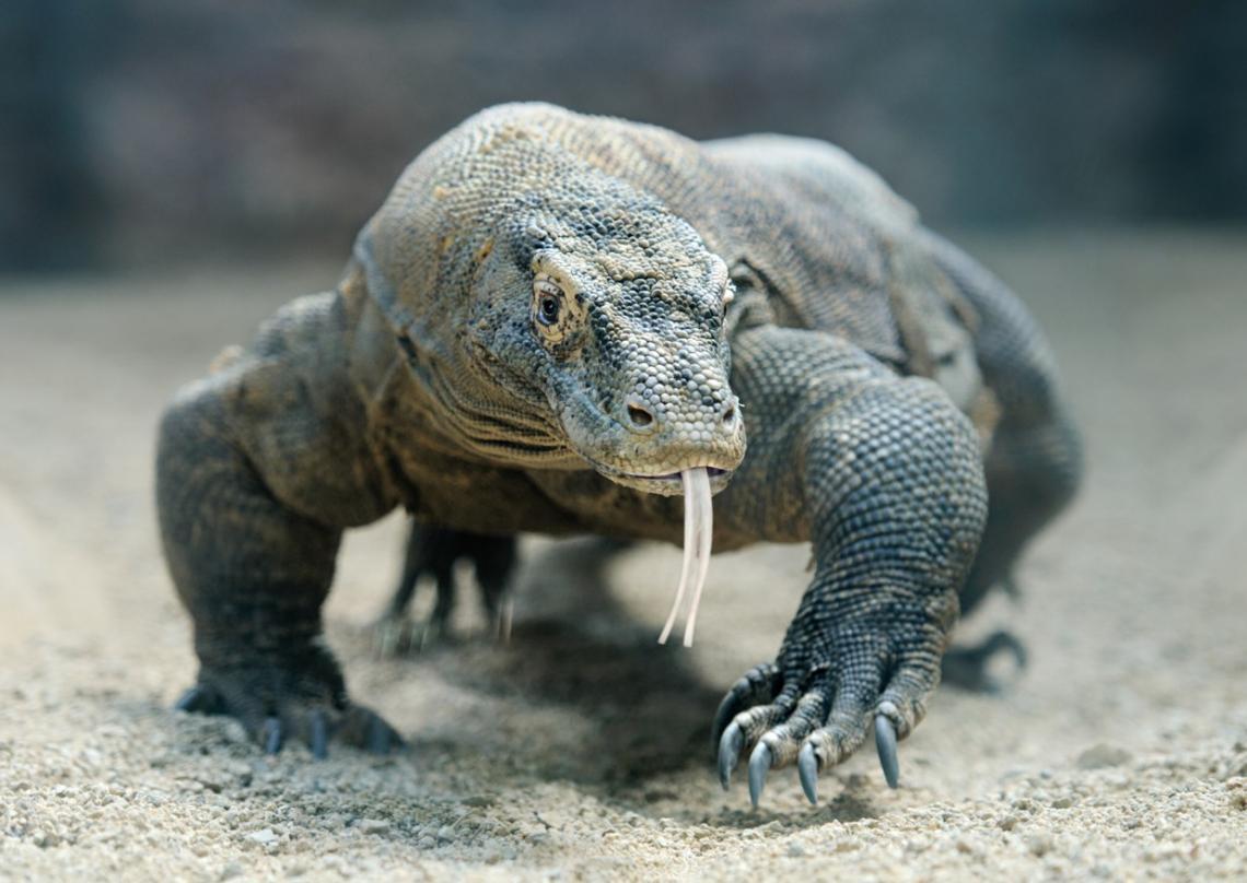 Enormes dragones de Komodo se enfrentan en una pelea por dominancia territorial