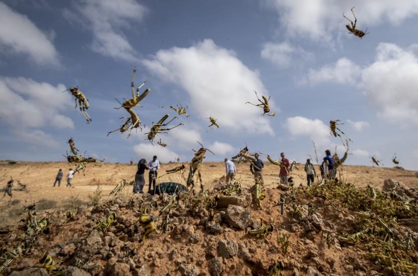 ONU reporta plaga de langostas en nueve países africanos