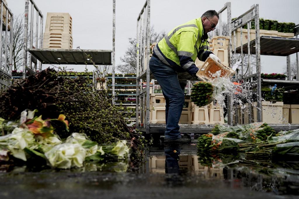 Destruyen montañas de flores en Holanda por el cierre de mercados y comercios