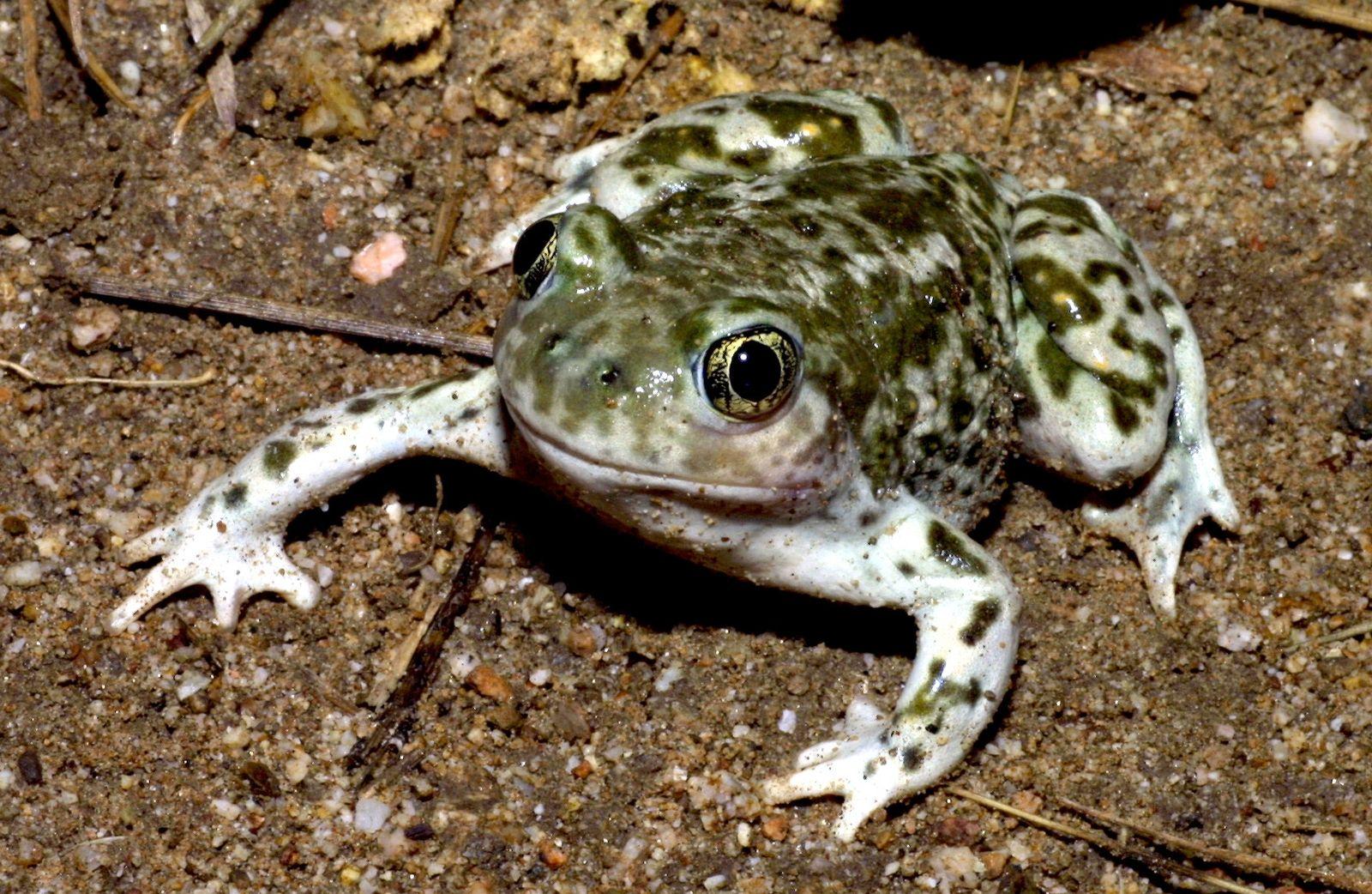 ¿Por qué las ranas y sapos ejercen presión sexual para mejorar su especie?
