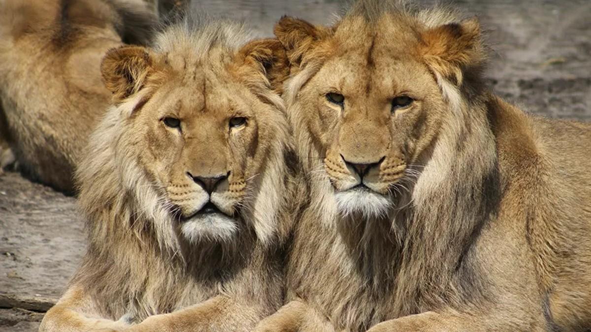 Fake news: ¡Putin y los leones!