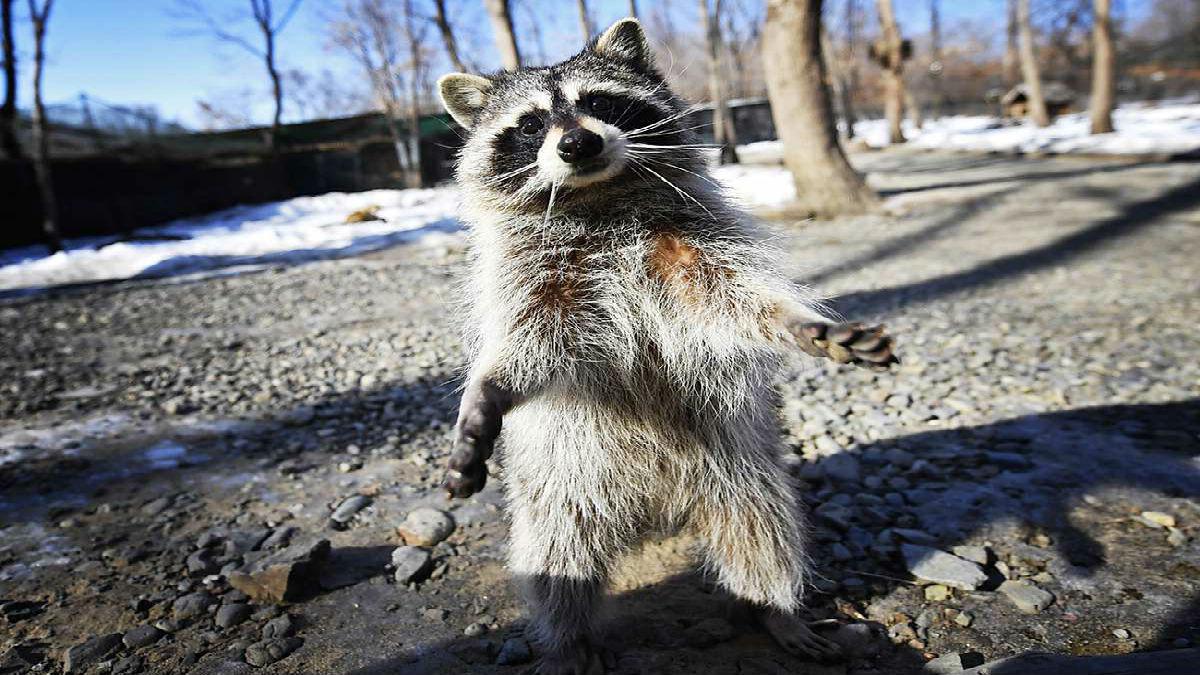 Moscú vive una invasión de mapaches