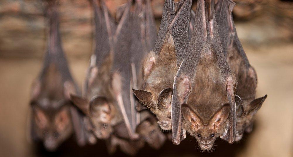 Atrapan murciélagos en Tailandia para comprobar si son portadores del coronavirus