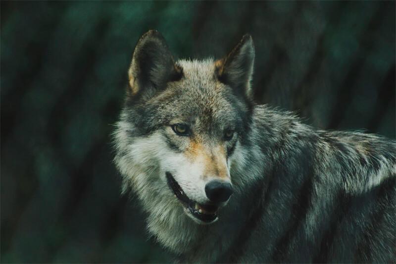 Avistan por primera vez en más de un siglo a un lobo en el norte de Francia, tras ser considerado extinto