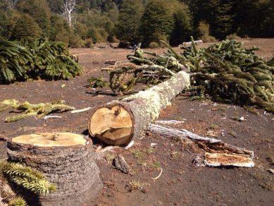 Brasil incauta el mayor cargamento de madera producto de tala ilegal en la Amazonía