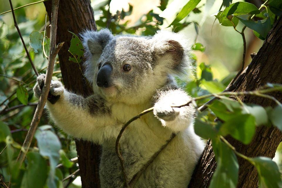 Los koalas de Australia corren el riesgo de desaparecer para 2050