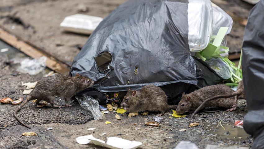 ¿Se comportan de manera más agresiva las ratas en EE. UU. durante la pandemia?