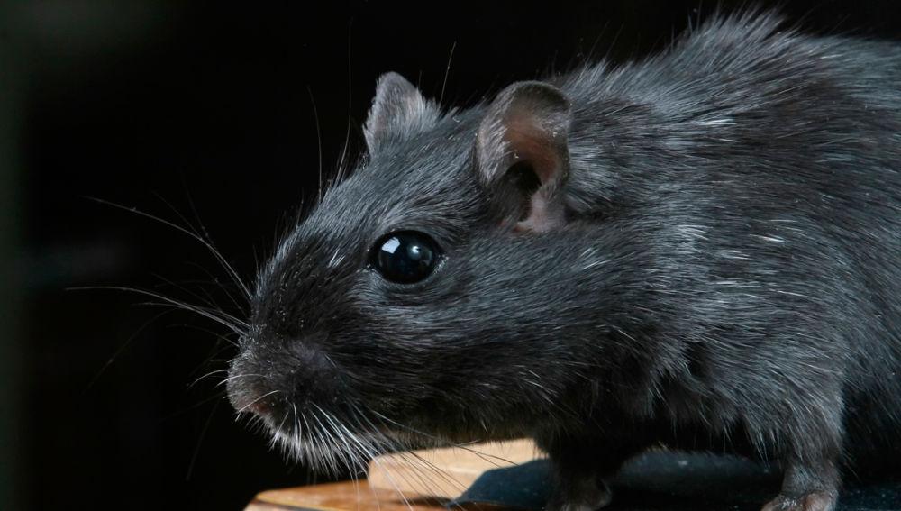 La pandemia provoca que las ratas entren en las casas a través de las tuberías en busca de comida