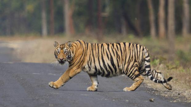 ¡Alerta! Tigres de Asia están en peligro de extinción por construcción de carreteras