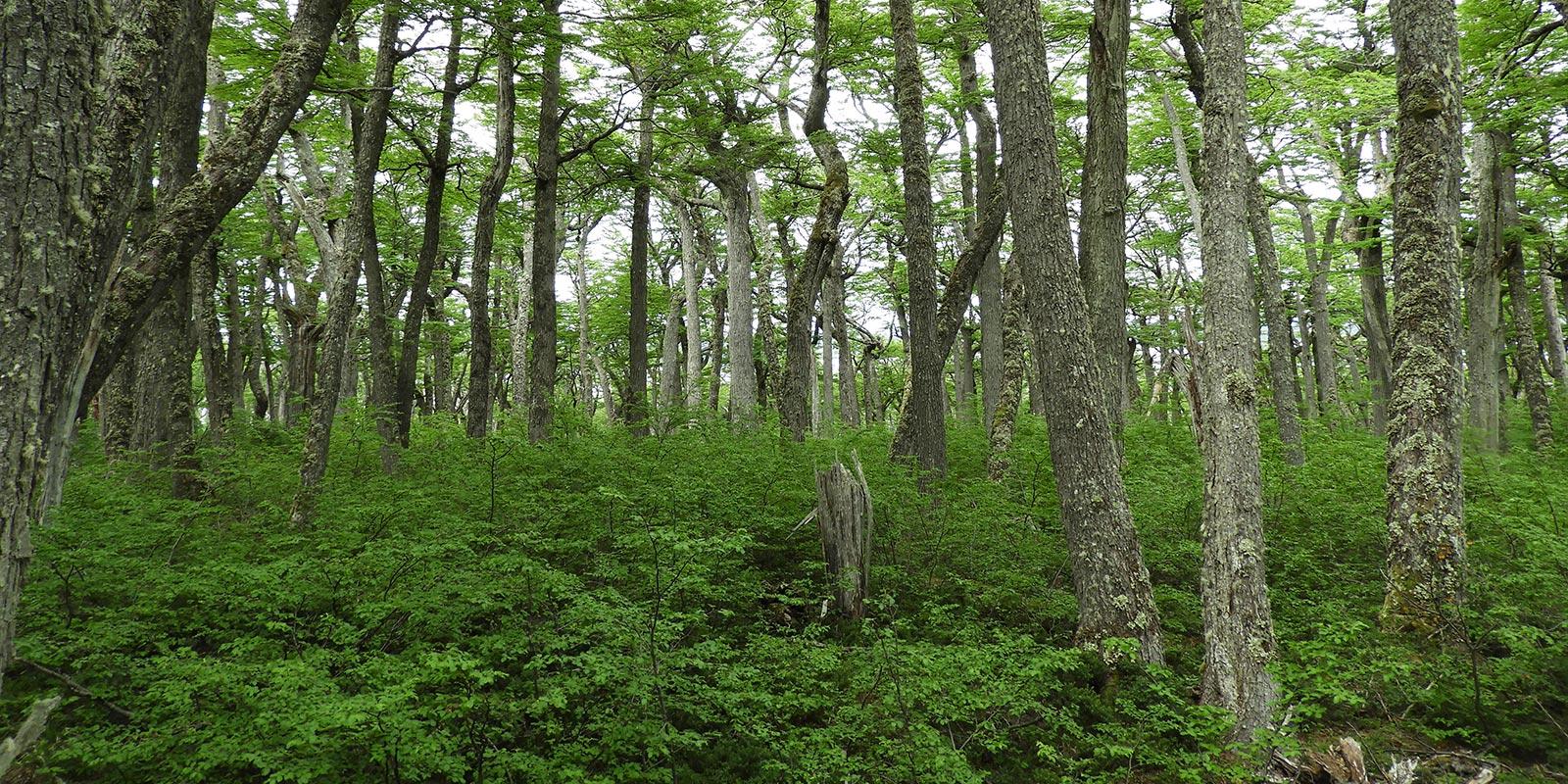 Importante fallo de la Suprema: Planes de manejo de Conaf deben atenerse a ley de protección del bosque nativo e ingresarse al SEIA