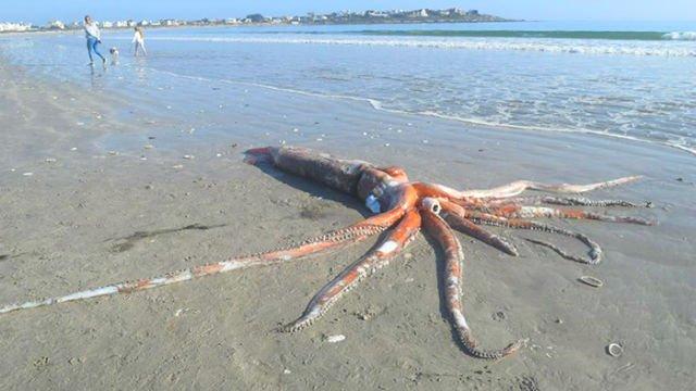 Un calamar gigante de 300 kilos muere en una playa de Sudáfrica