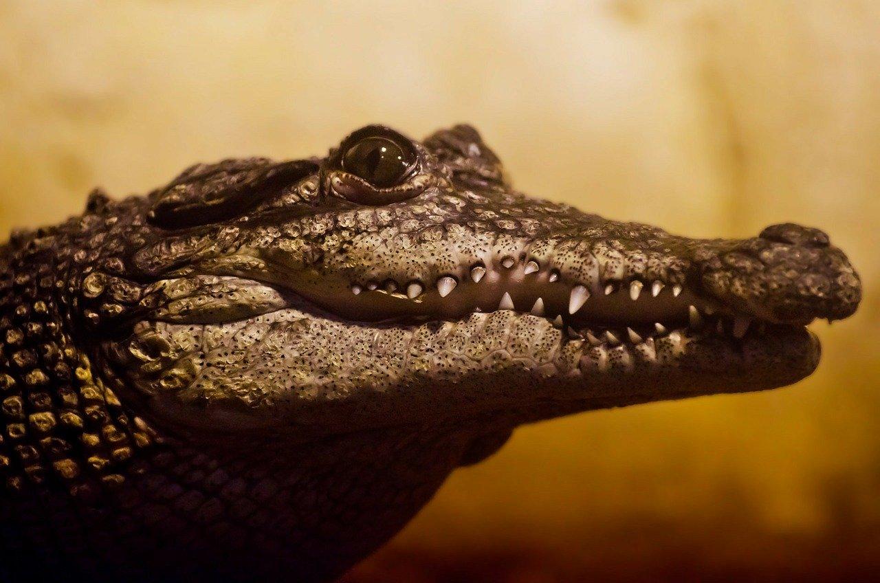 La increíble gesta del cocodrilo africano que reveló un fósil de hace siete millones de años
