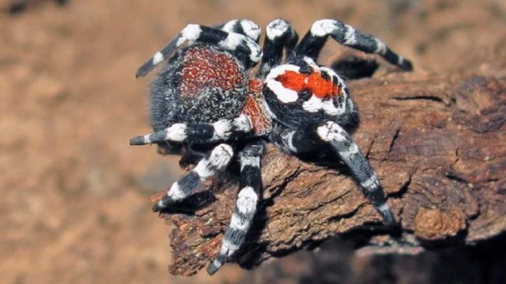 """Conoce a la araña Loureedia phoenixi, una especie parecida al """"Joker"""""""