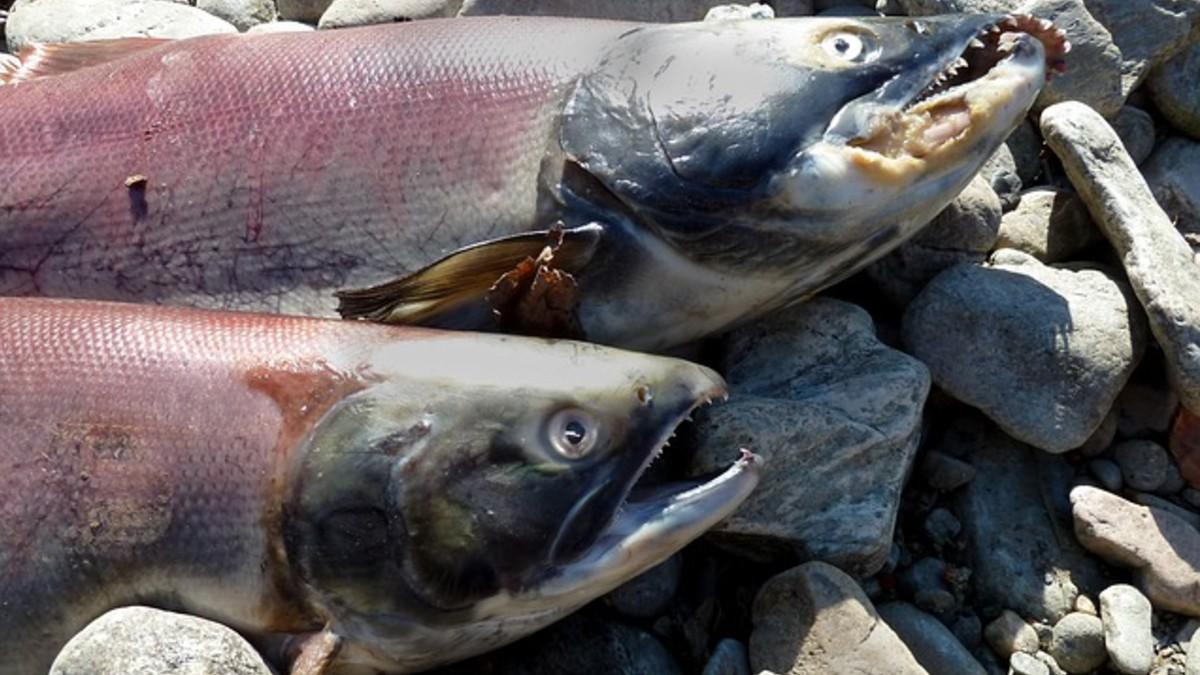 Sernapesca anuncia que los 875 mil salmones de Reloncavi no están aptos para consumo humano