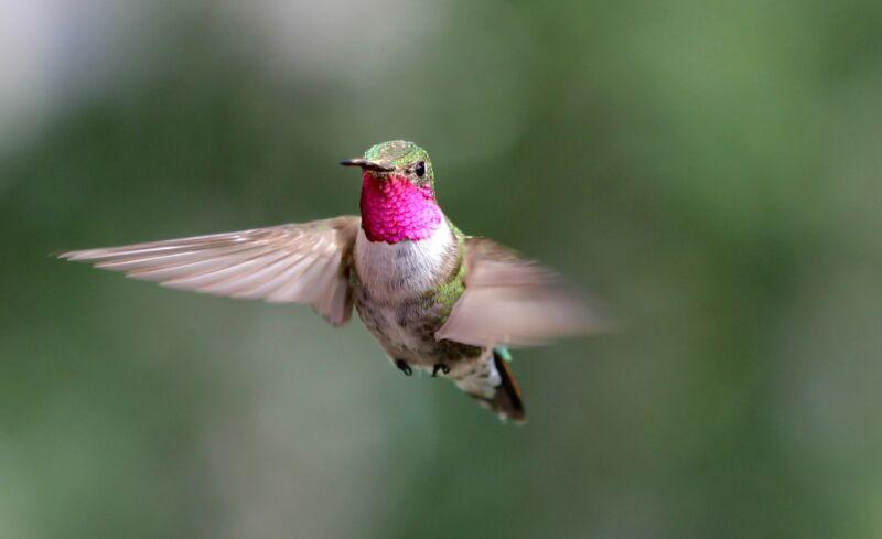 Los colibríes pueden ver colores inimaginables para los humanos