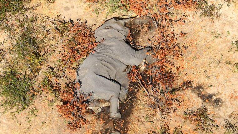 ¿Nuevas enfermedades o neurotoxina? Avanza investigación sobre muerte de elefantes en África