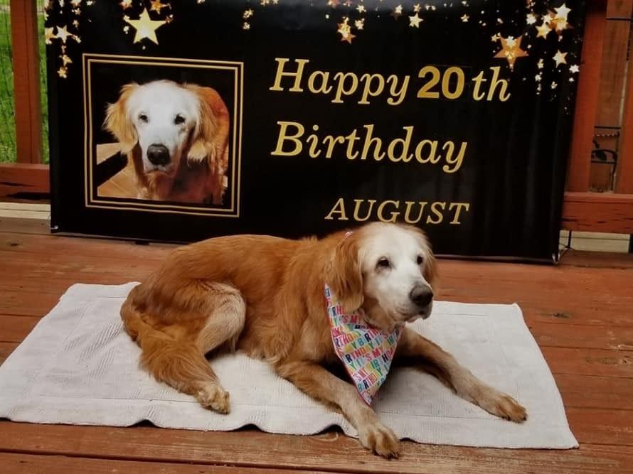 (+Video) Un perro golden retriever rompió todos los récords de longevidad