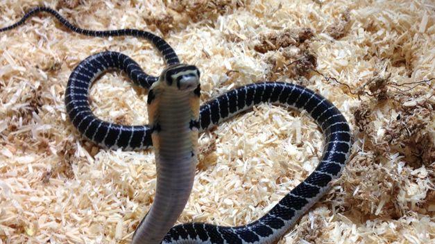 ¿Las serpientes y lagartos fueron parte de la dieta de las antiguas civilizaciones?