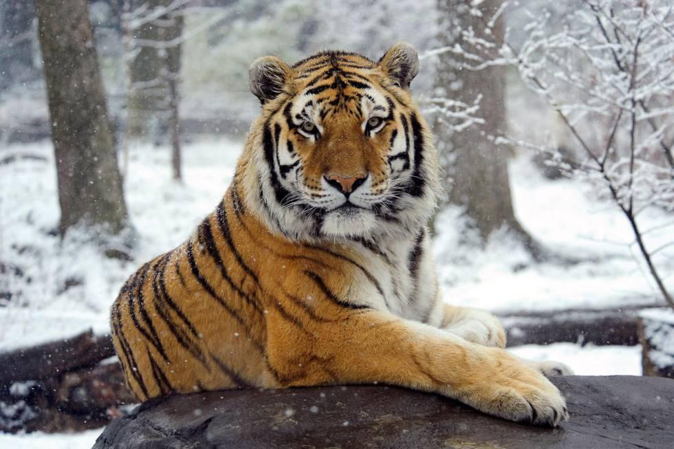 La población del tigre del Amur aumenta en Rusia de 500 a 580 en 15 años