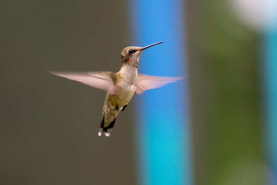 (Video) Científicos descubren cómo los colibríes pueden atravesar cascadas