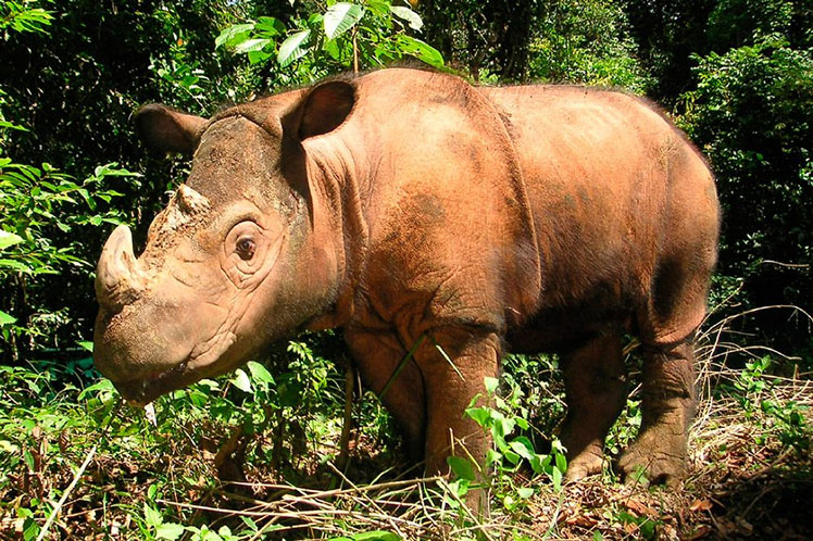 ¿Es posible regenerar una población de rinocerontes completamente extinta?