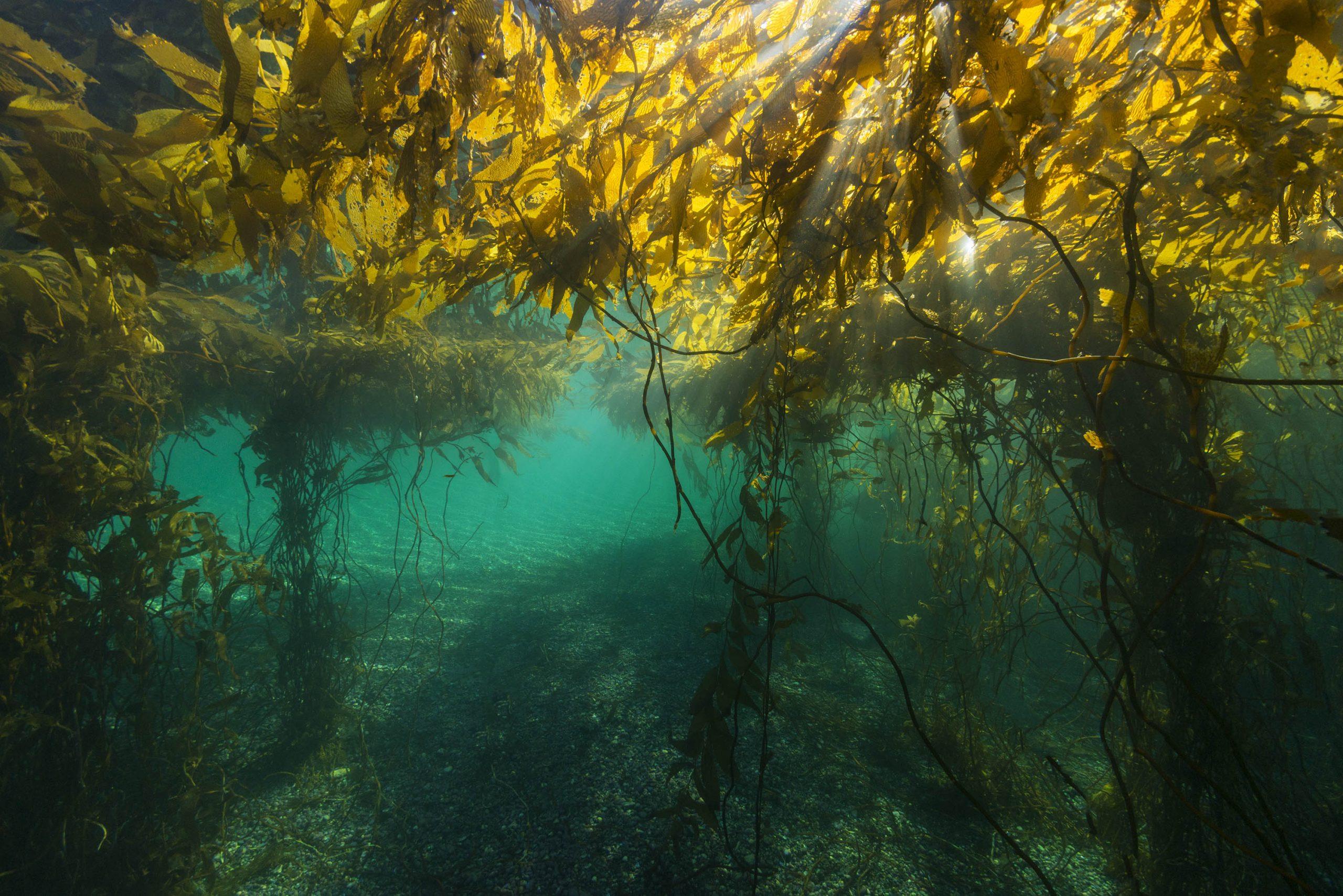Investigación: Bosques submarinos de la Patagonia presentan adaptaciones únicas al cambio climático