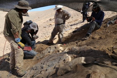 Descubren fósiles de uno de los mayores depredadores marinos del Jurásico en el Desierto de Atacama