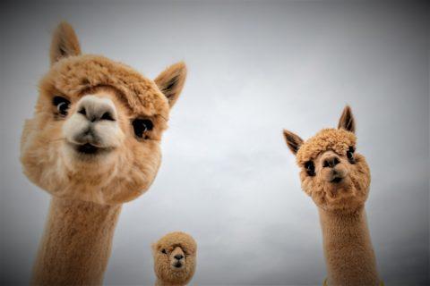 L'Alpaca : une recherche chilienne qui peut neutraliser COVID-19 et sauver l'humanité