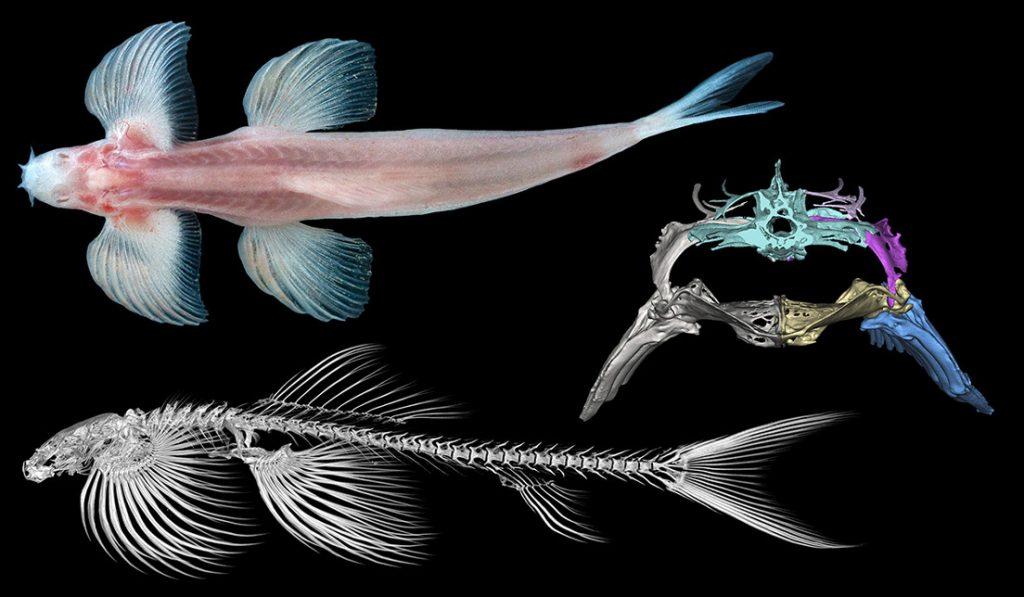 especies peces caminar