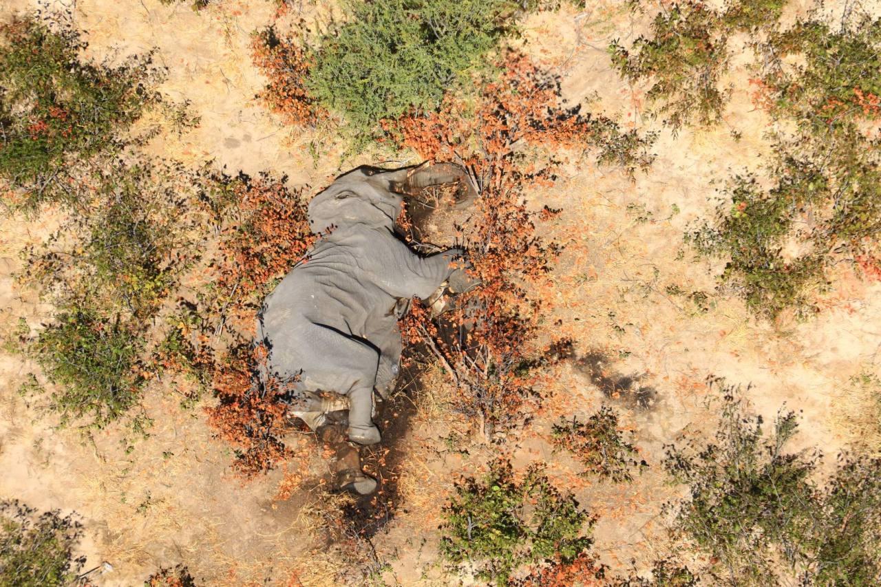 Resuelven el misterio sobre la causa de muerte de los elefantes en África