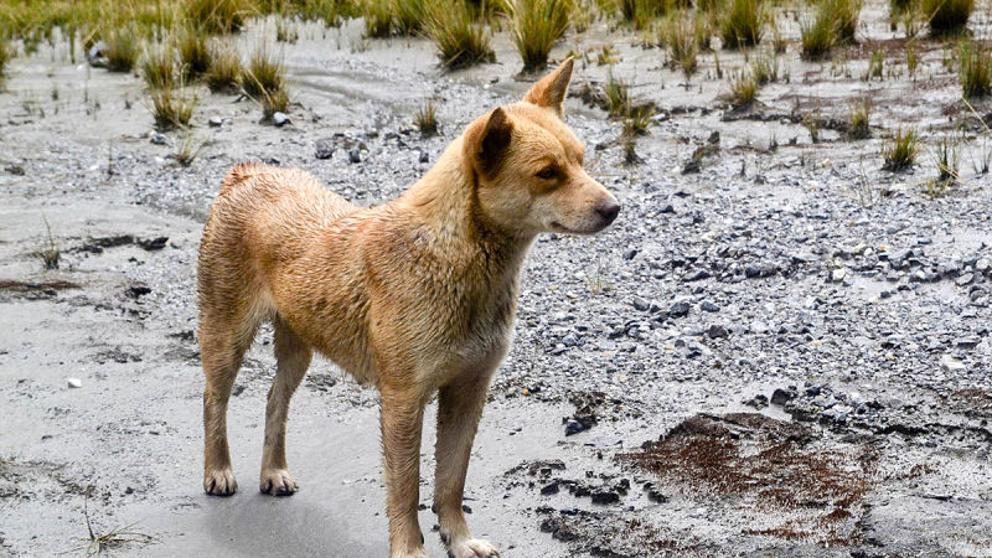 Los 'perros cantores' reaparecen en la naturaleza 50 años después