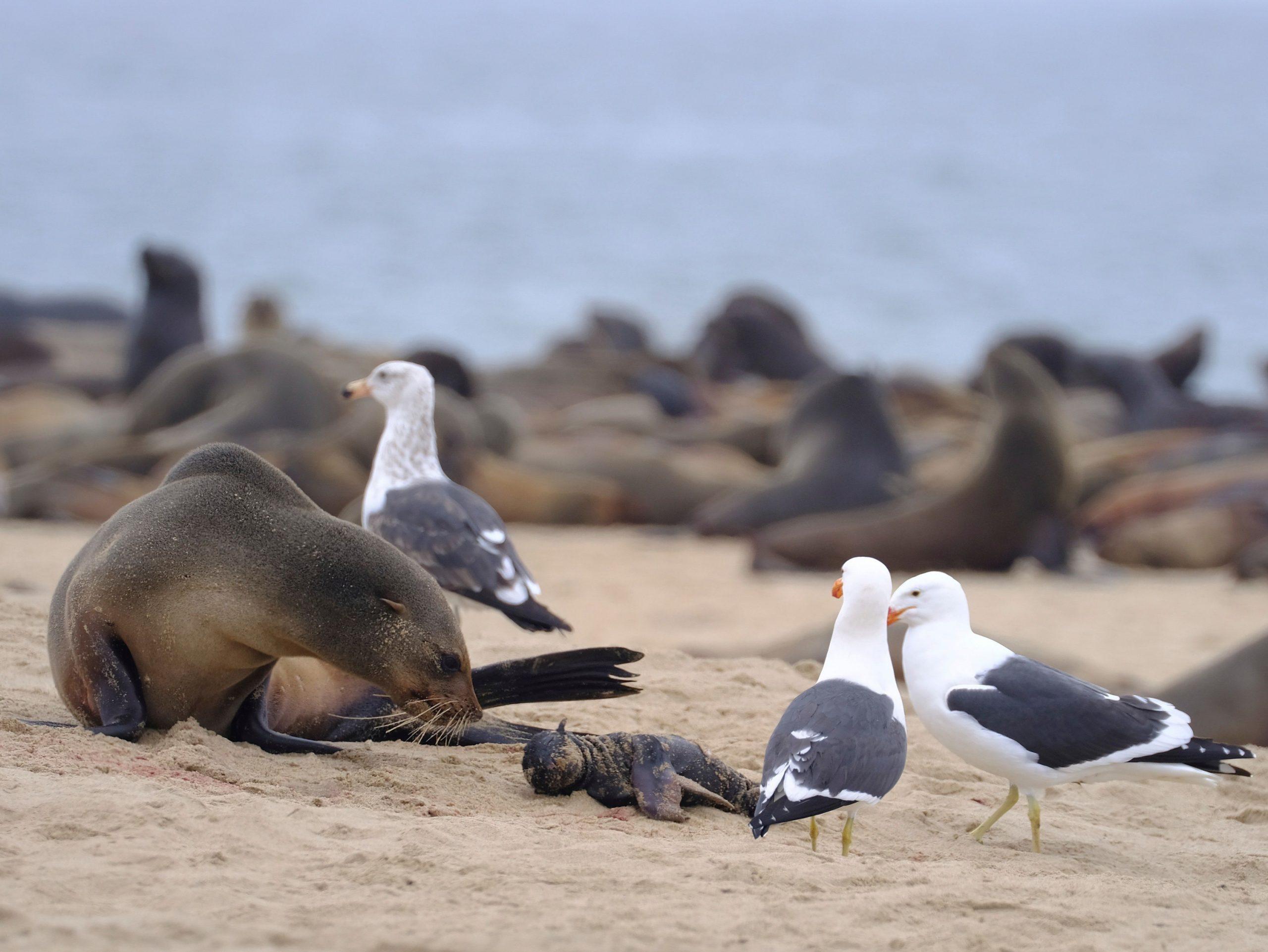 Miles de crías de lobos marinos aparecen muertas en playas africanas