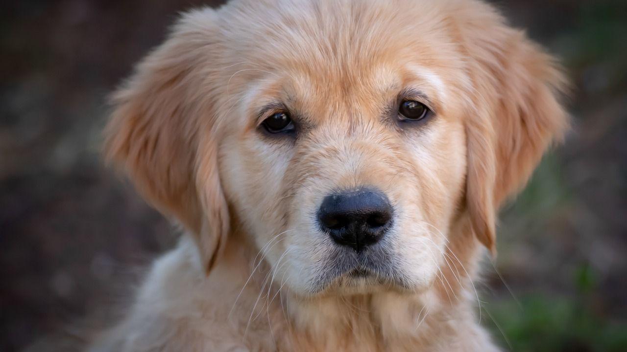 Dou Dou: El perro que caminó 50 kilómetros durante 26 días para volver a su hogar