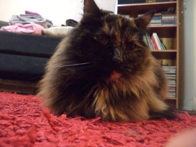 Universidad de Chile comprobó contagio de Covid-19 de humanos a gatos
