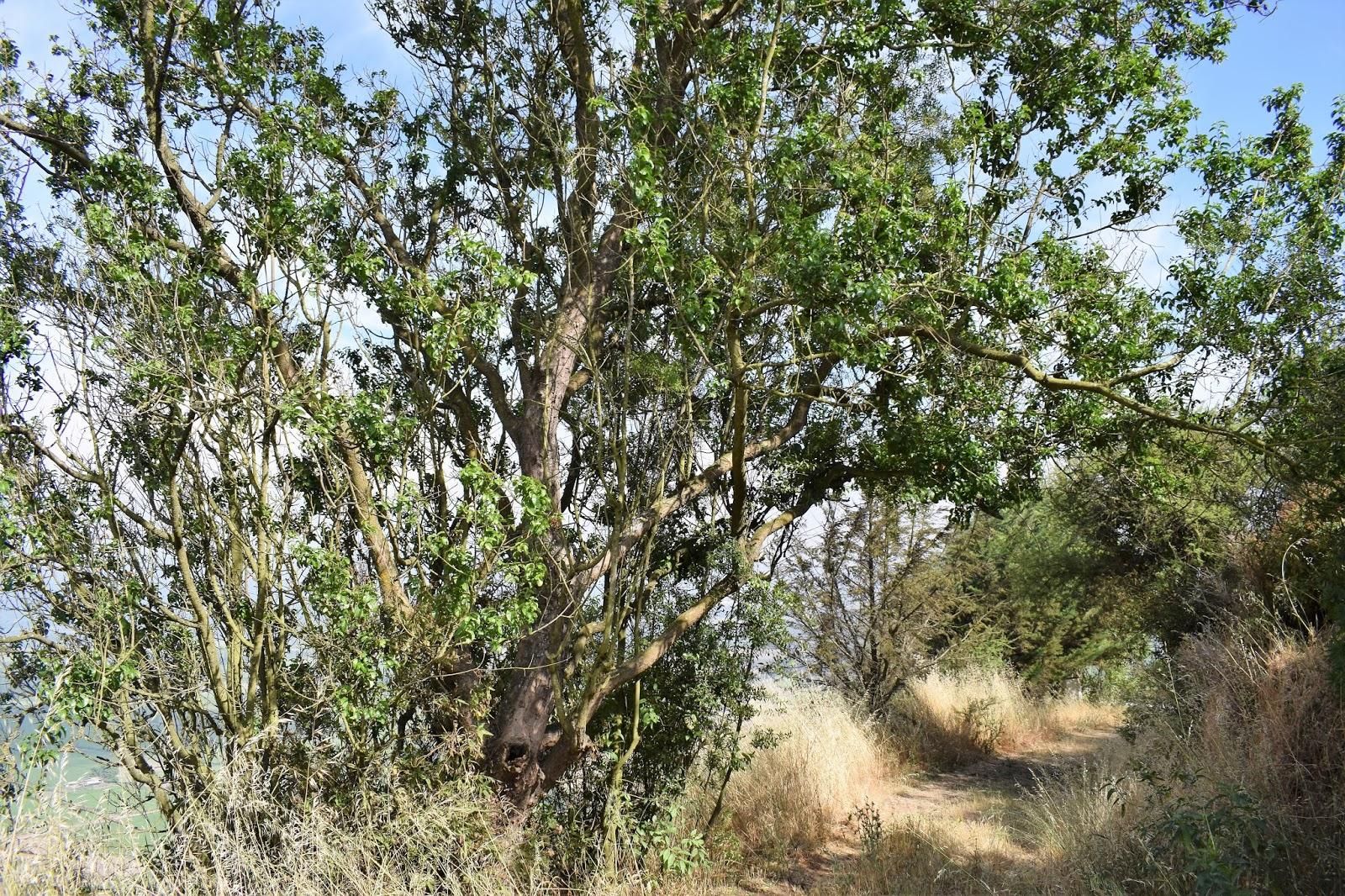 Árbol quillay mapuche tiene sustancias contra el coronavirus