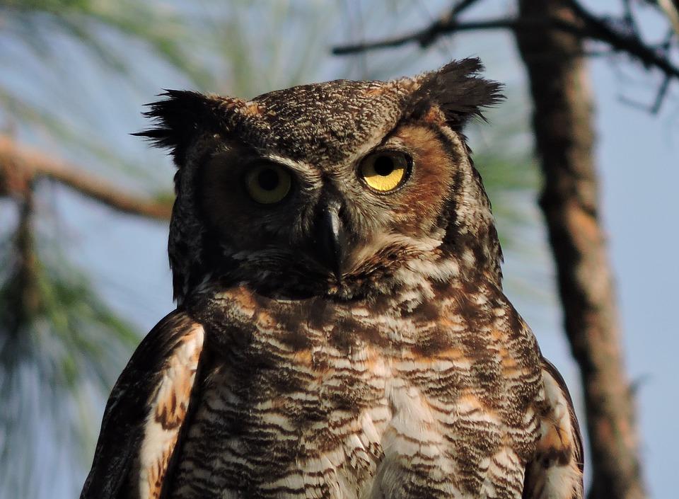 Poderosa ventaja: identifican en los búhos un rasgo inusual que no se ha visto antes en aves