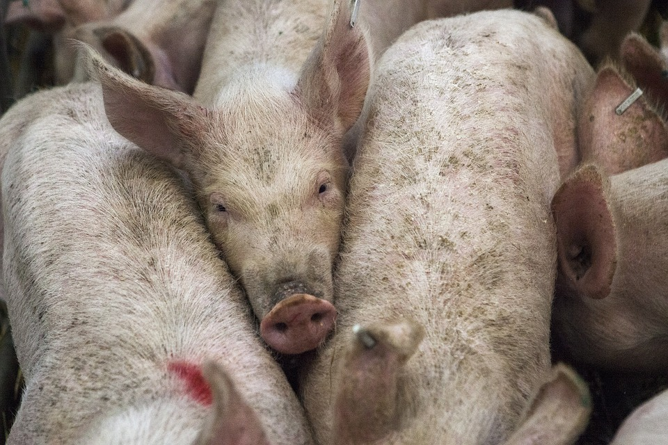 coronavirus porcino humanos