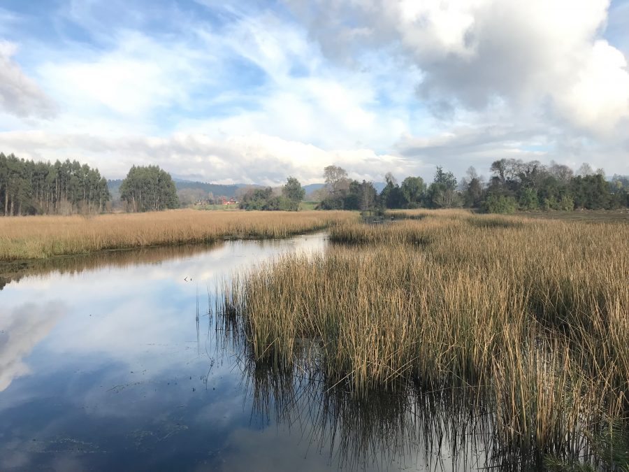 Tribunal Ambiental de Valdivia decreta medida cautelar en demanda por daño ambiental en humedal Angachilla