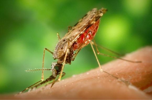 ¿Cuáles son los compuestos de la sangre humana que atraen a los mosquitos?