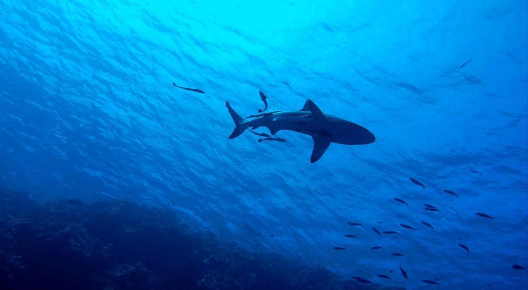 tiburón sin dientes ni piel