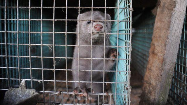 Dinamarca anuncia que la mutación del covid-19 encontrada en visones del país está