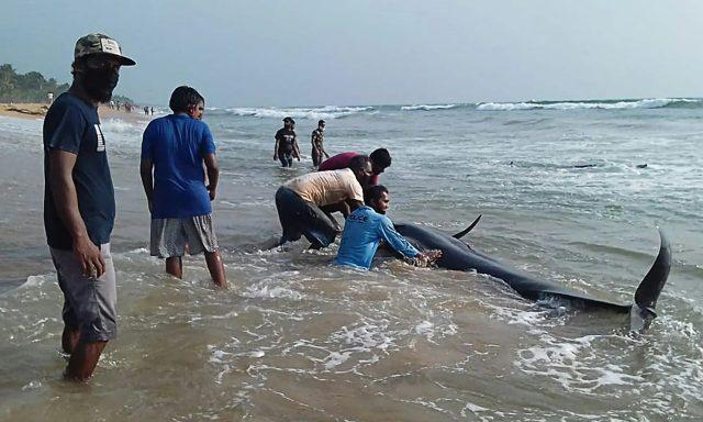 Sri Lanka: varamiento de 100 ballenas une a rescatistas y voluntarios (+Video)