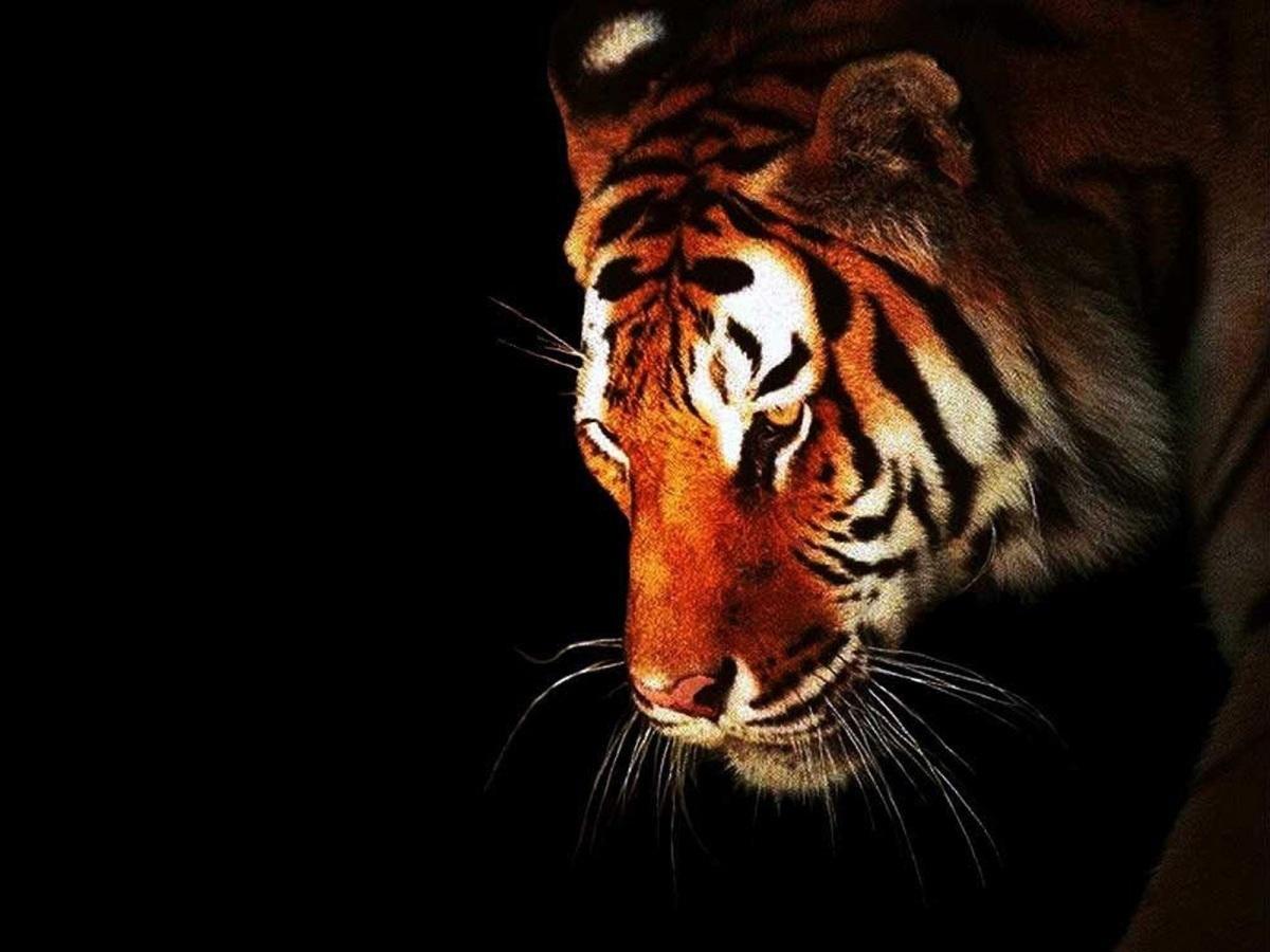 Reaparece uno de los ocho tigres negros que quedan en el mundo (+Fotos)